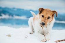 Cute Fox Terrier Chewing A Sti...