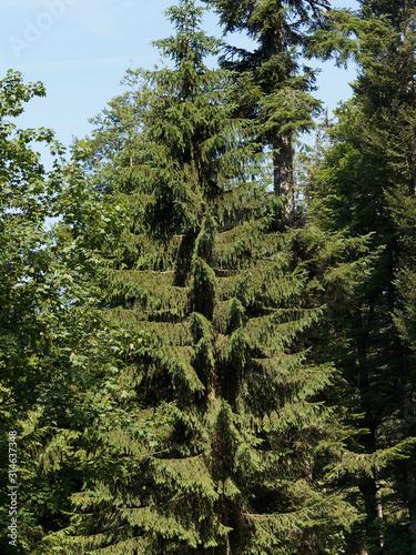 Photo Hohe Krone einer weißen Tanne (Abies alba) unter einem blauen Himmel des Schwarz