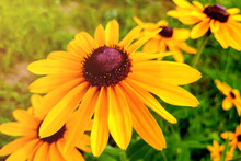 Rudbeckia Hirta, The Black-eye...