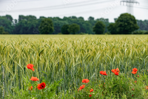 Poppies grow near a field of barley. Poppies on the background of a barley field.
