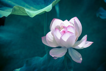 Lotus Water Lily Surrounded By...