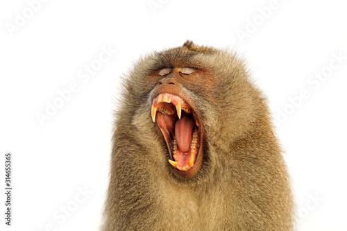 Valokuvatapetti Portrait of an aggressive Balinese long-tailed monkey (Macaca fascicularis) isolated on white