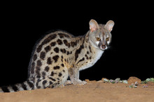 Nocturnal Large-spotted Genet ...
