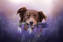 Australian Shepherd - In Laven...