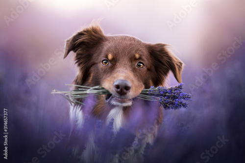 Photo Australian shepherd - in lavender