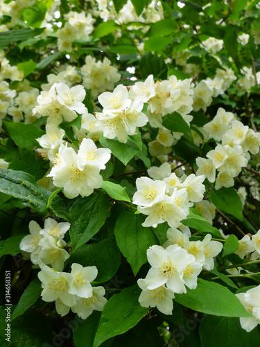 Jasmine spring white flowers with raindrops Wallpaper Mural