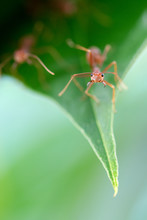 Macro  Red Ant Ready To Fight