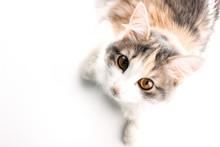 White, Ginger, Gray Cat Lying ...