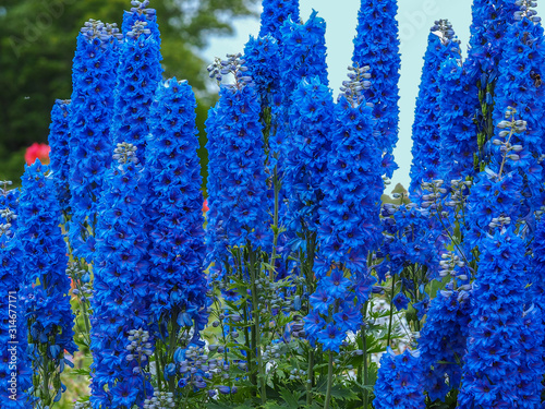 Foto Tall blue flower spikes of Delphinium Faust in a summer garden