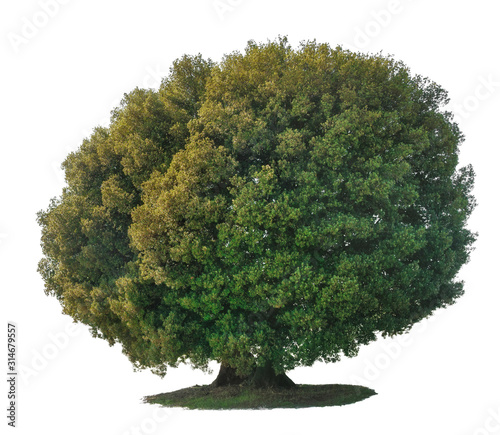 Holm Oak Tree of Chianti Tuscany isolated on white background. Wallpaper Mural