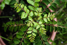 The Curry Tree (Murraya Koenigii) Or Curry Leaf Tree Shot With Natural Light.