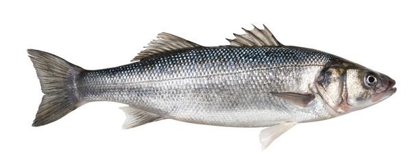 Jedna svježa riba brancina izolirana na bijeloj pozadini