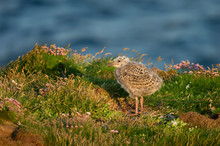 European Herring Gull Chick St...