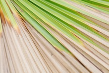 Large Palm Leaf Dying Due To D...