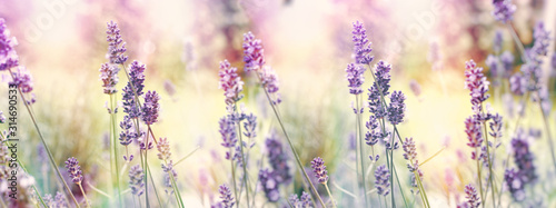 Fototapety, obrazy: Selective and soft focus on lavender, flowering lavender flowers in garden