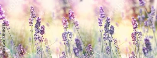 Fototapeta Selective and soft focus on lavender, flowering lavender flowers in garden obraz