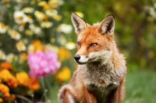 Close Up Of A Red Fox