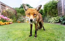 Red Fox Standing On The Green ...