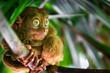 canvas print picture - tarsier bohol philippines wildlife