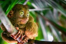 Tarsier Bohol Philippines Wild...