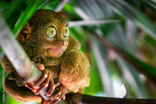 tarsier bohol philippines wildlife Canvas-taulu
