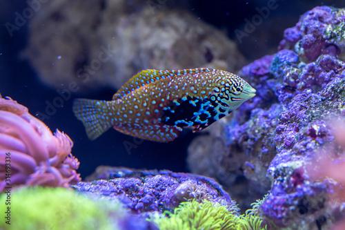 Fototapety, obrazy: Blue Star Leopard Wrasse (Macropharyngodon bipartitus) female. beautiful fish from Maldives