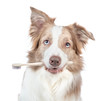 Border collie dog holds toothbrush in his mouth. isolated on white background
