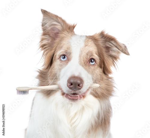 Fototapety, obrazy: Border collie dog holds toothbrush in his mouth. isolated on white background