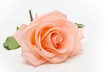 Single Beauty Orange Rose Flower Blossom Bud Isolated On White Background