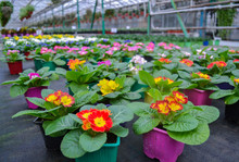 Close-up Of A Red And Yellow Primrose In A Bright Pots And Lots Of Blurred Bright Multicolored Primeroses (cowslips) In A Greenhouse. On The Blurred Background Hanging Flowers. Spring Flower Sale