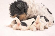 Pups 3 Weeks Old.  Purebred Ve...