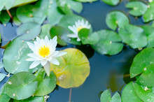 A Beautiful White Lily Blooms Among The Water Lilies In The Pond