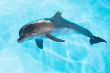 View Of Nice Bottle Nose Dolphin  Swimming In Blue Crystal Water