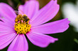 canvas print picture - Bee with pink cosmos flowers