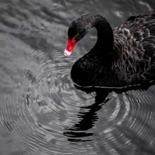 Black Swan On Water