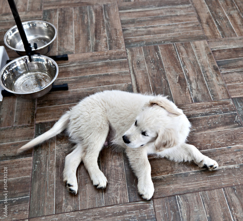 Valokuvatapetti Satiety puppy dog breed Labrador Retriever lies near an empty bowl belly up