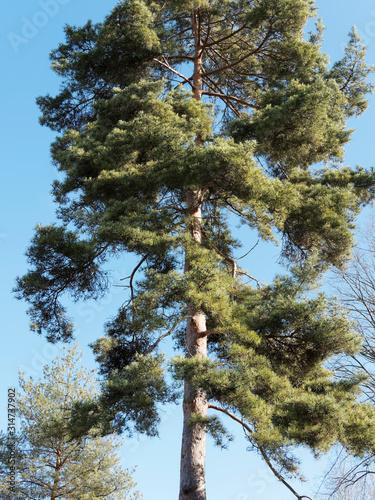 Valokuvatapetti (Pinus sylvestris) Gerader Stamm und Krone der Waldkiefer unter einem blauen Him