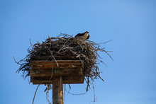 Low Angle Shot Of Eagle Looking Around And Monitoring Activity Around The Nest. Osprey Or Fish Hawk Resting On The Nest Under The Blue Sky