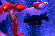 canvas print picture - Nice red gold fish swarm in air bubbles blue background nature aquarium
