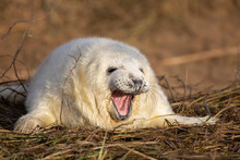 Grey Seal Pup In Grass White C...