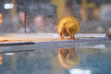 Duckling Checking His Reflection