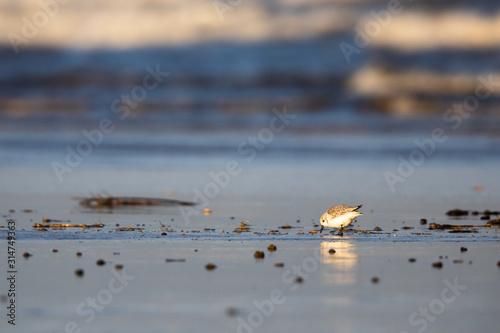 Valokuva Little stint on a beach