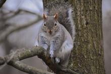 Eastern Grey Squirrel Is Nativ...