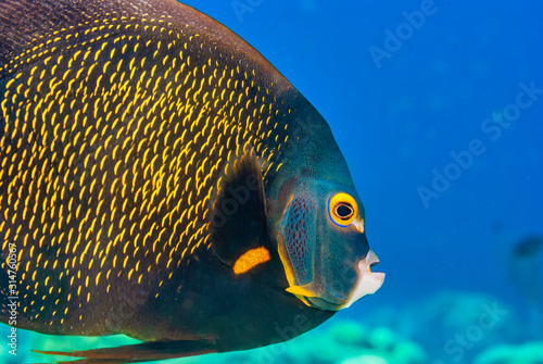 Photo Closeup of adult French Angelfish swimming