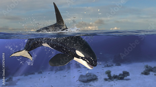 Obraz na plátně Orca killer whale diving down to underwater after jumping out of sea 3d renderin