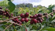 Costa Rica Coffe Plant