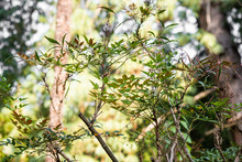 Thin Branches With Green Leaves Of A Plant Nandina Domestica With Day Light