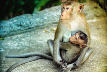 The Monkey Mother Is Breastfeeding