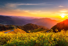Mexican Sunflower On Doi Mae U Ko Hill At Sunset In Winter, Mae Hong Son Province, Thailand