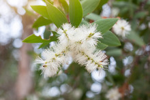 White Flower Of Melaleuca Caju...